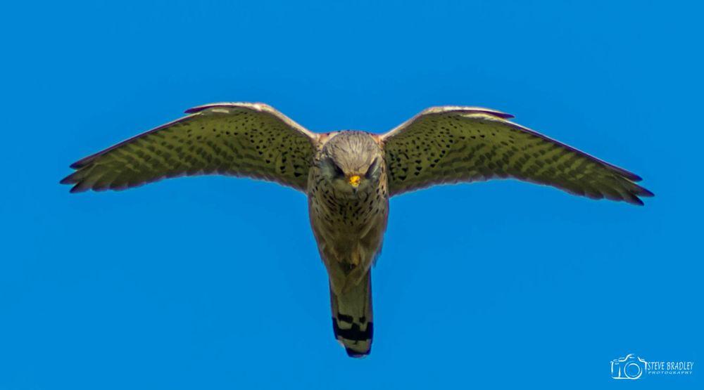 Photo in Animal #stevebradleyphotography #kestrel #flight #lancashire #colne #therough