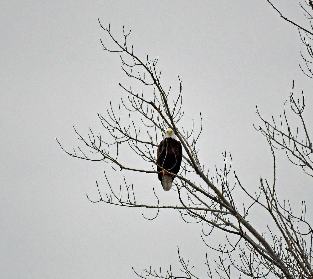 Photo in Nature #bald eagle #good morning fishing #hudson river ny