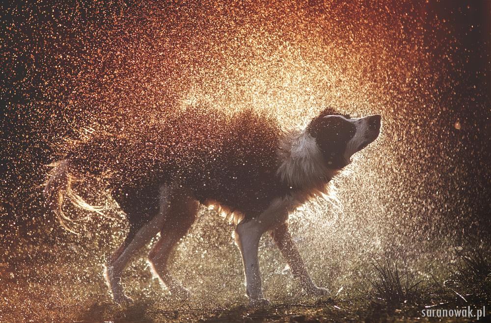 Photo in Animal #dog #border #collie #backlight #silhouette #natural light #natural #animal #dogs #sheepdog #water #splash #drops