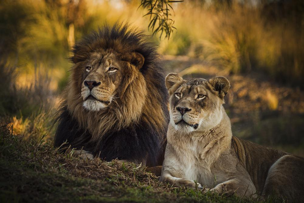 Photo in Animal #lions