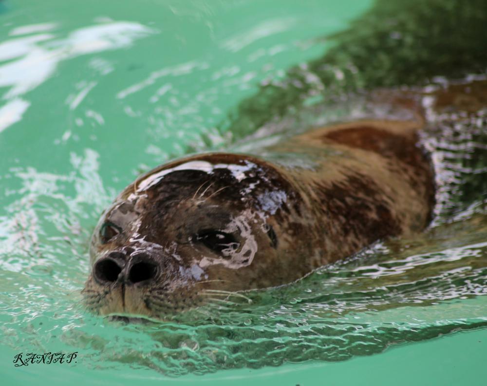 Photo in Animal #seal #animal #swim #look #colours