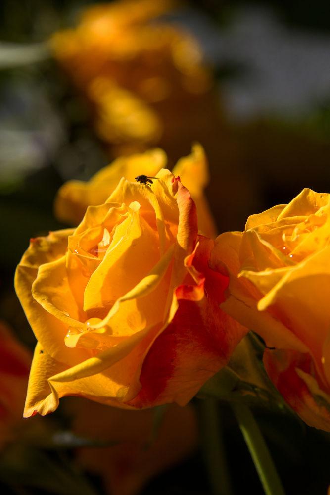 Photo in Nature #flower #rose #westzaan