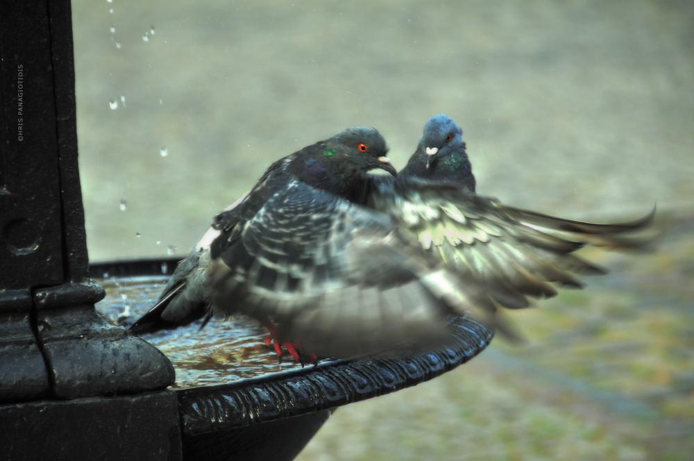 Photo in Animal #love pigeons #love #fountain #warsaw #warsawa #poland #polska #nikon #nikon d90