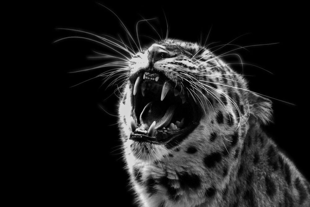 Photo in Random #animal #leopard #white #black #ypa2013