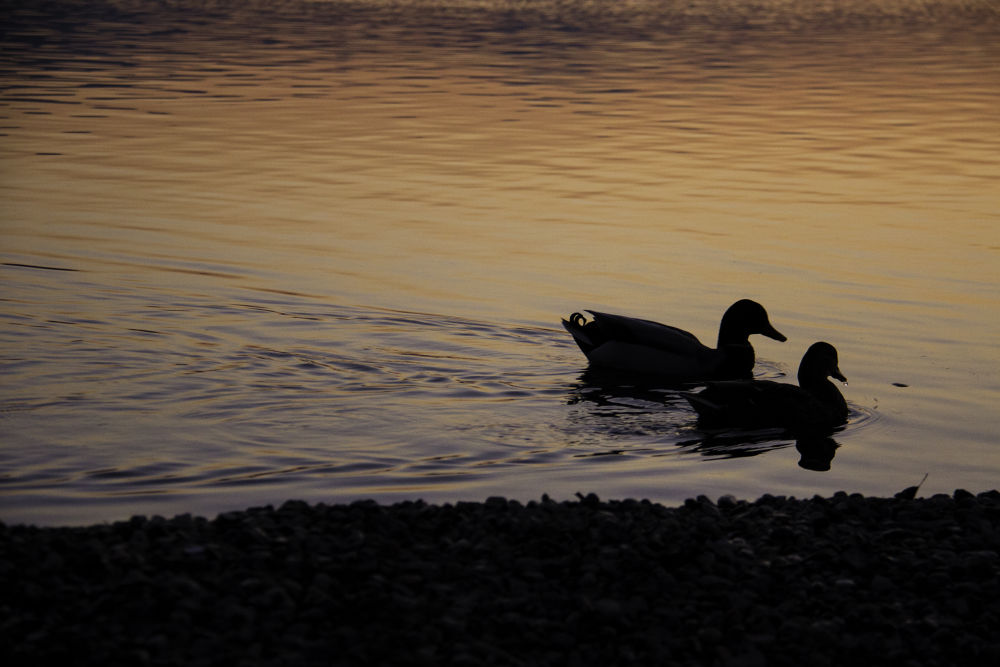 Photo in Animal #silhouette #duck #lake #sunset #black #shadow #red #yellow #blue #water #nature #wild #romantic