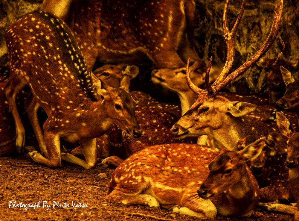 Photo in Animal #deer #stag #herd #canon 550d #animal