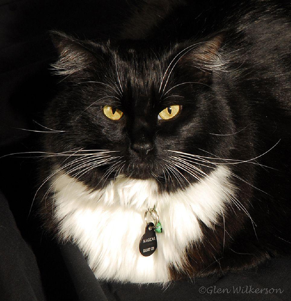 Photo in Animal #cat #tuxedo cat #black & white #feline