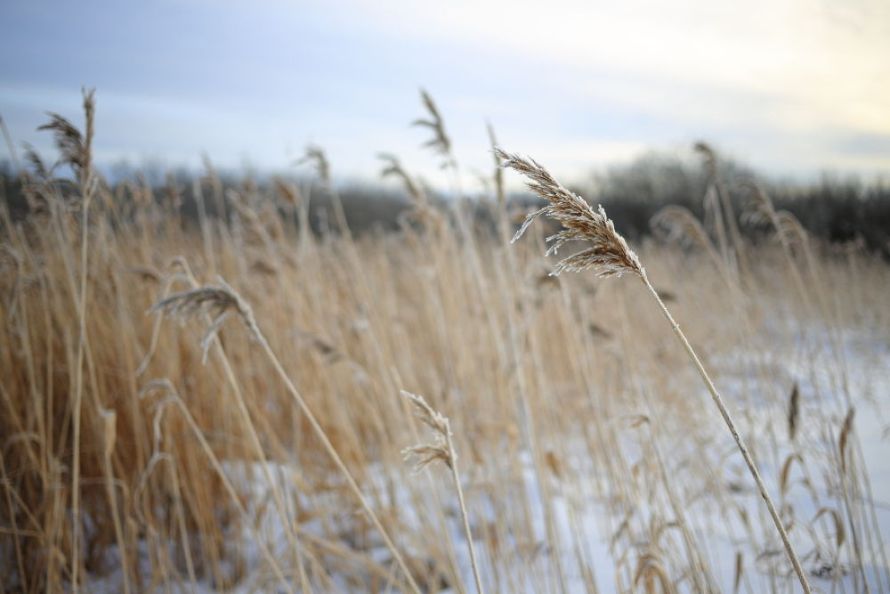 Photo in Nature #nature #landscapes #reed