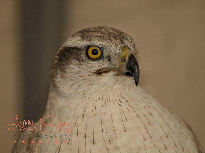 Photo in Animal #siberiangoshawk #goshawk #birdsofprey