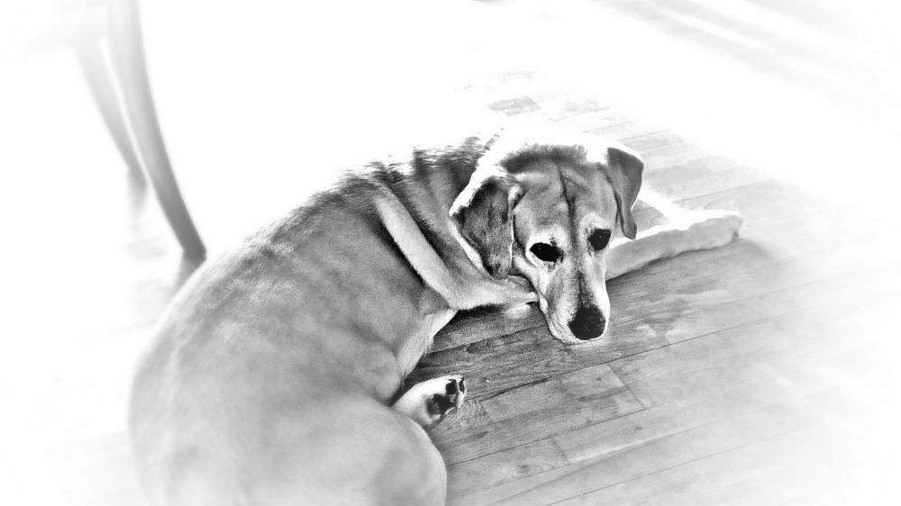 Photo in Black and White #lazy #dog #spring #bw