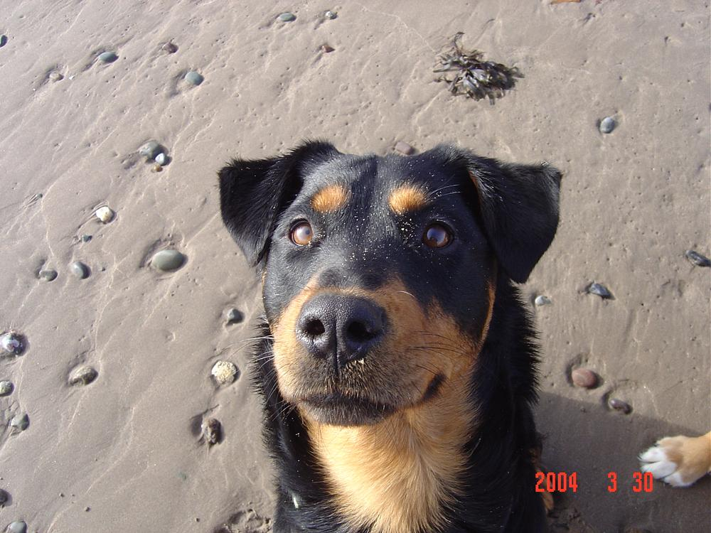 Photo in Animal #rottweiller #dog #rescue #chained dog