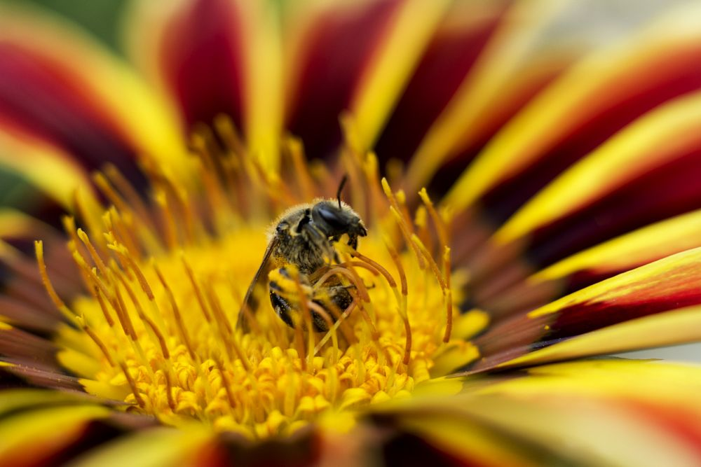 Photo in Macro #bee #insect #flower #macro #close-up #pollen