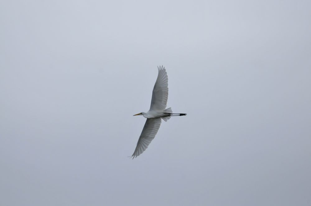Photo in Animal #egret #aigrette #bird #volatile #white feathered #white #feathered #flying