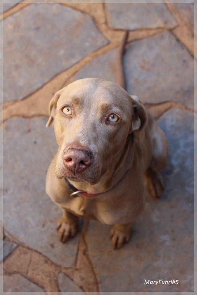 Photo in Animal #weimaraner #maryfuhri #dogsitting #dogs