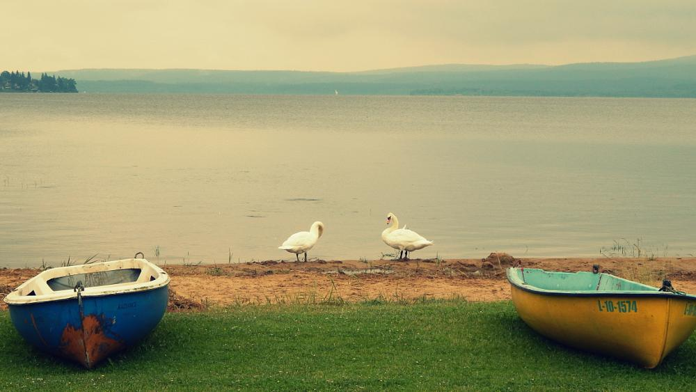 Photo in Nature #swan #boats #lake #water
