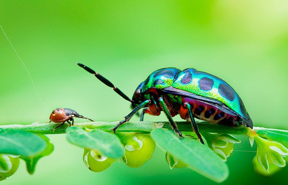 Photo in Macro #macro #chrysocoris sp #colours