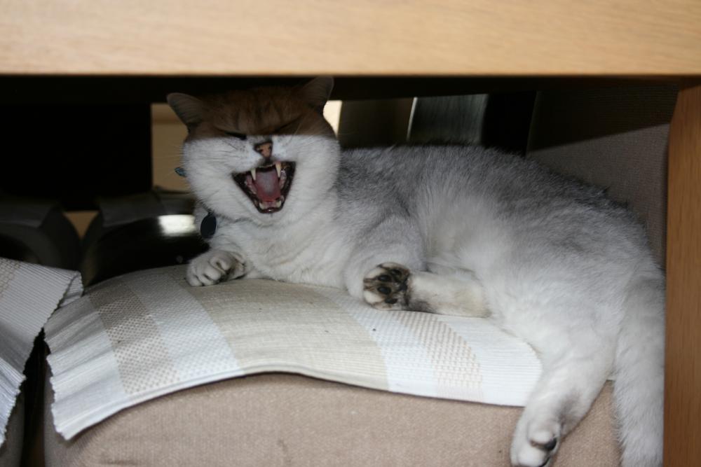 Photo in Animal #cat #feline #tired  animal cats britishshor