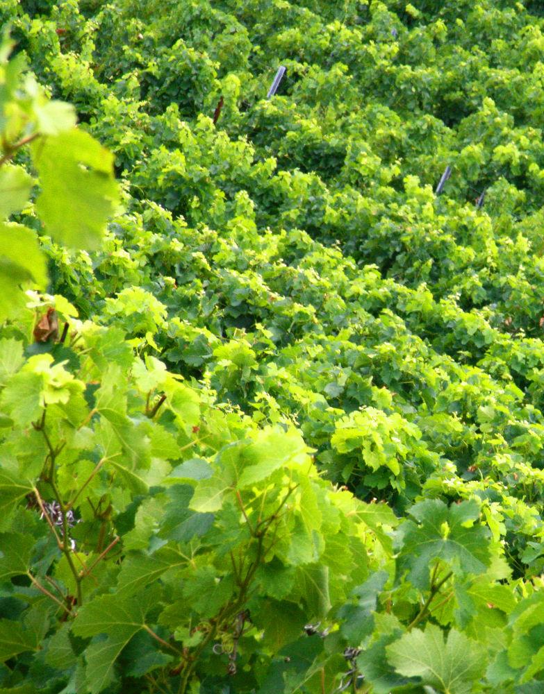 Photo in Random #ypa2013 #ypa2014 #green #grapes