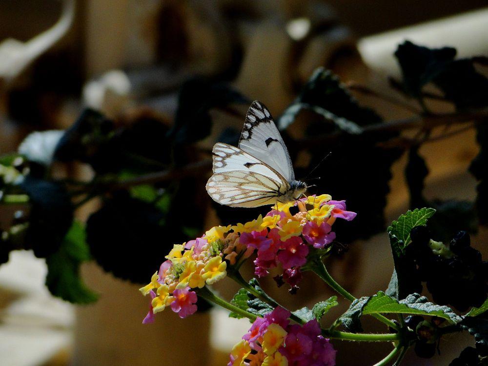 Photo in Animal #buterfly #macro