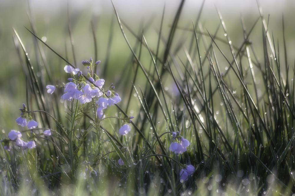 Photo in Nature #morning #flowers #field #dew
