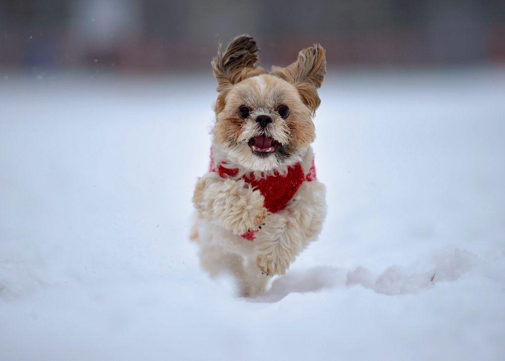 Photo in Animal #winter #snow #pup #dog #running #running dog #running pup #nikon d600