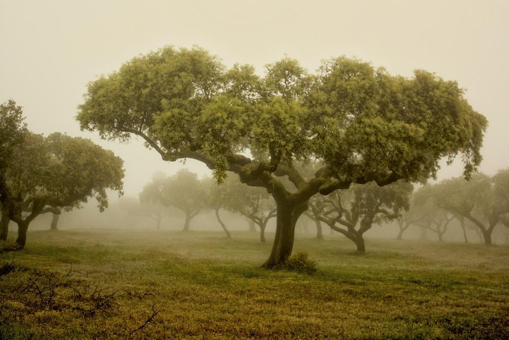 Photo in Landscape #holm oak #trees #mist