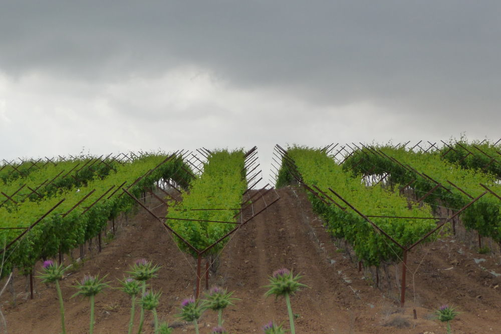 Photo in Nature #ypa2013 #vines #green #field #winter #clouds