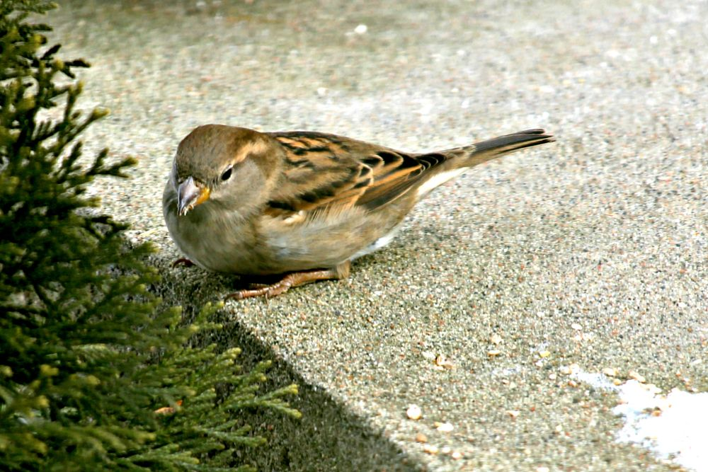 Photo in Animal #bird #oiseau #ptak #animal #nature #moineau