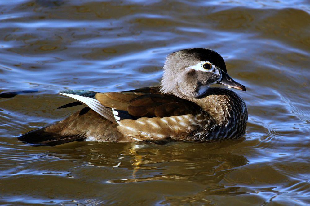 Photo in Animal #duck #canard #bird #oiseau #ptak #kaczka #branchu #animal #nature