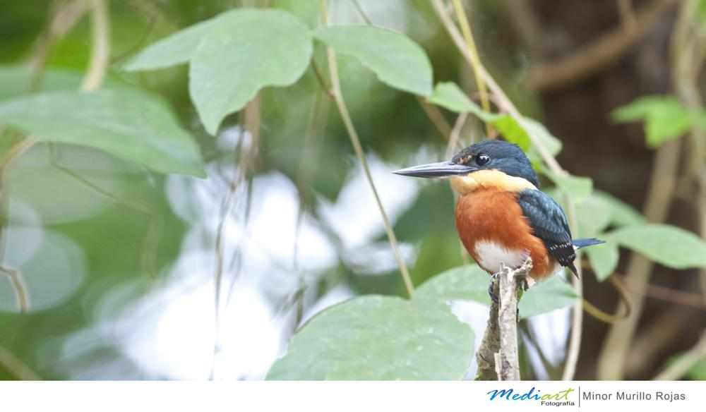 Photo in Animal #american pygmy kingfisher #chloroceryle aenea #ave #aves #birds #bird #animal #animals #animales