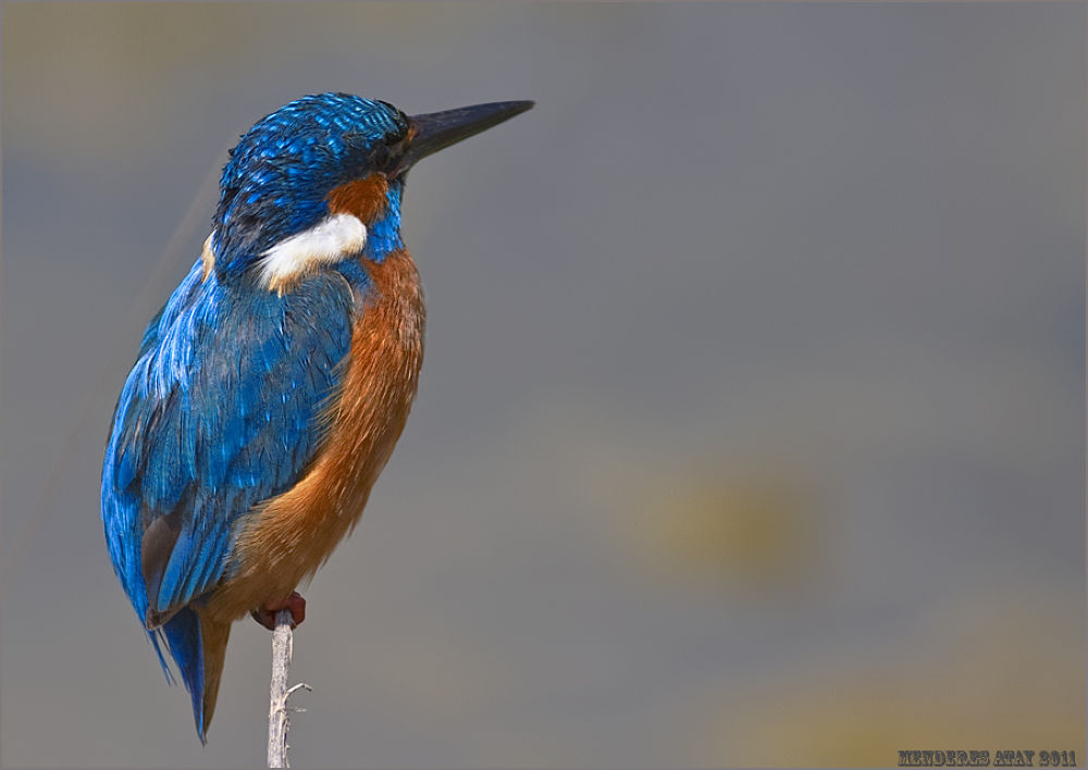 Photo in Random #yalıçapkını kingfisher / alced