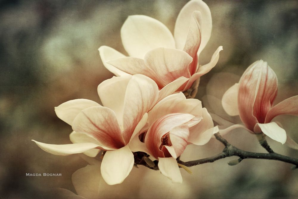 Photo in Nature #magnolia #spring #bloom #flower #flowers