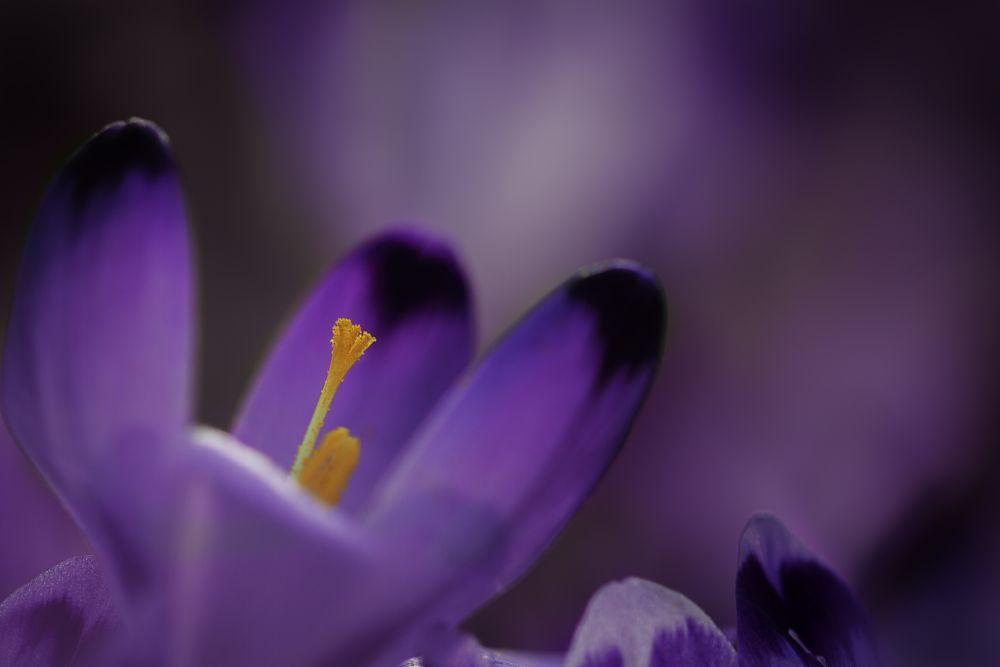 Photo in Macro #purple #crocus #flower #yellow #arancio #viola #dettaglio #illuminazione #macro #erba #grass