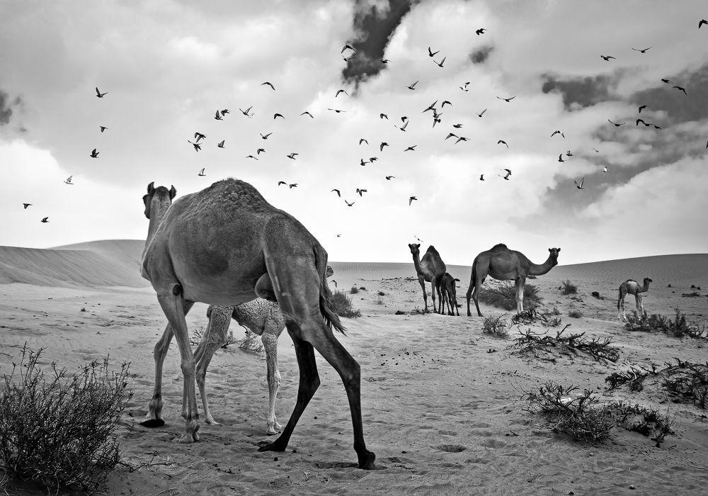Photo in Black and White #black #white #fine art #desert #dubai #middle east #camel