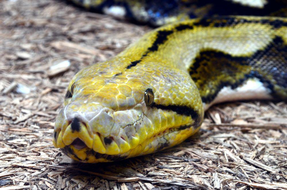 Photo in Random #snake #eyes #nature