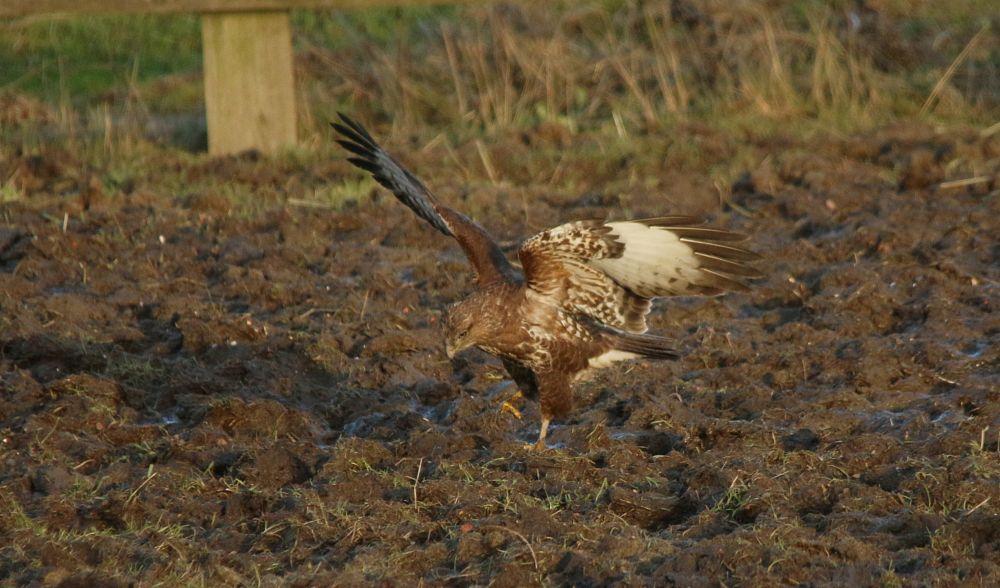 Photo in Animal #common buzzard #buteo buteo #accipitridae #hunting #earthworms