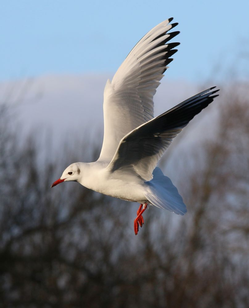 Photo in Animal #black-headed gull #chroicocephalus ridibundus #laridae #linlithgow loch