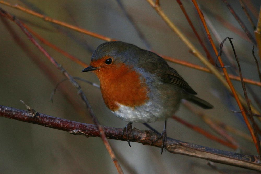 Photo in Animal #european robin #erithacus rubecula #muscicapidae #linlithgow loch