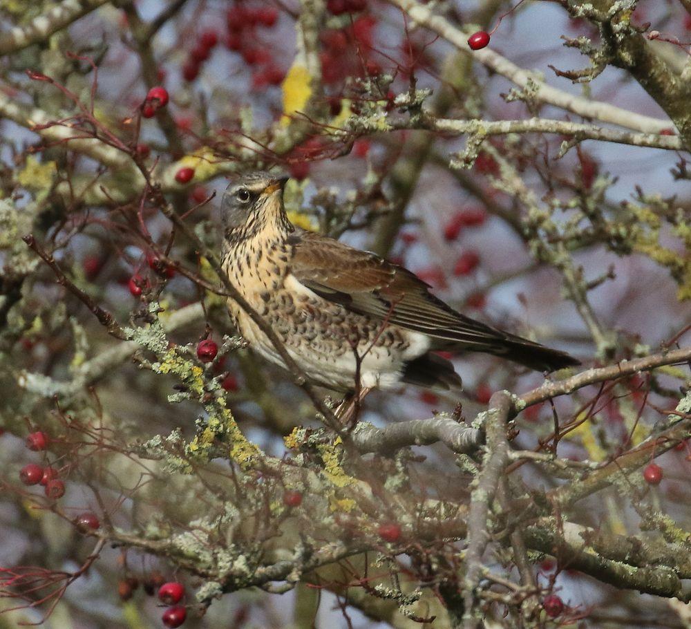 Photo in Animal #fieldfare #turdus pilaris #bird #berries
