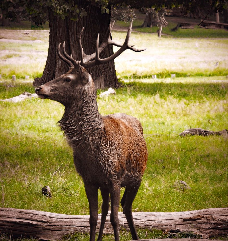 Photo in Animal #red deer #nature #animals #royal parks #stag