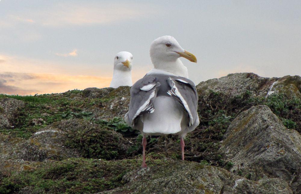 Photo in Animal #gull #seagull #bird #beach #california #ocean #pacific #courtship #bodega