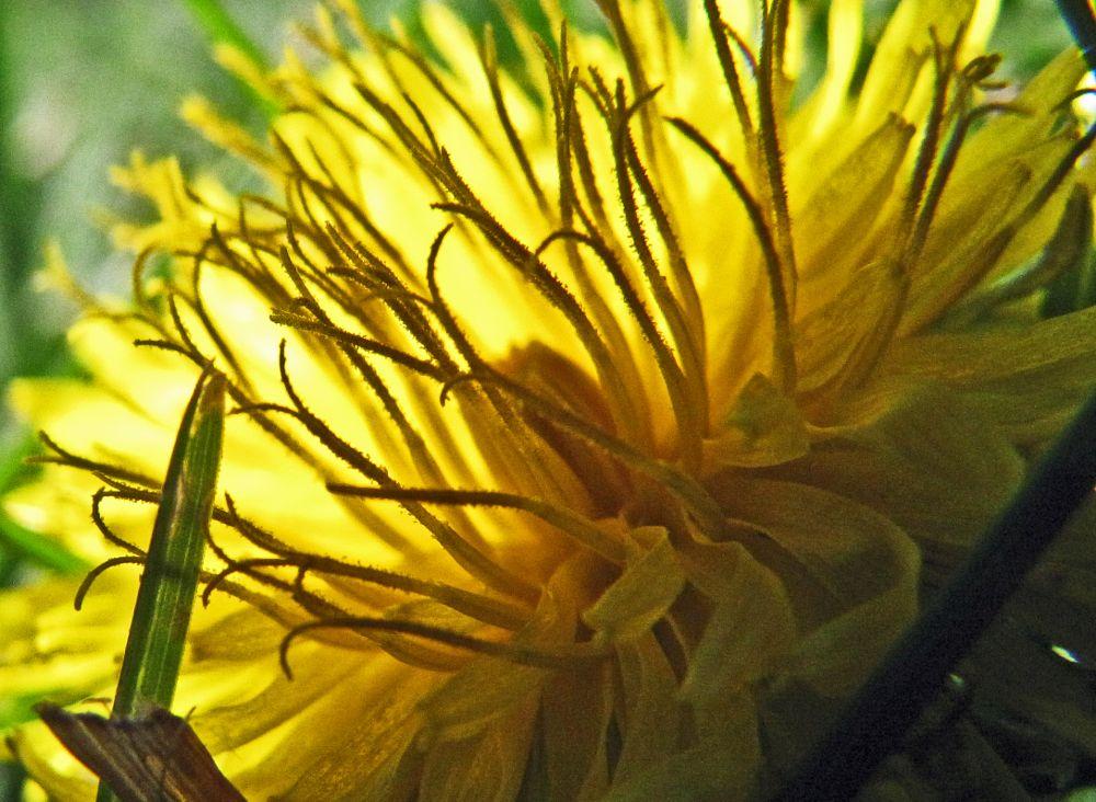 Photo in Random #dandelion #weed #morning #bright #sunlight #yellow #flower #midwest #rural #farmland #home