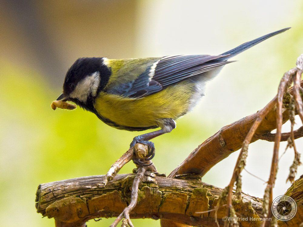 Photo in Animal #bird #maggot #yellow #great tit #garden