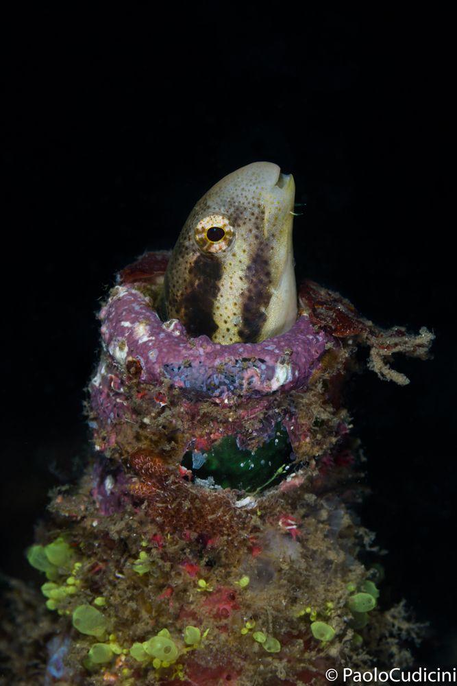 Plagiotremus tapeinosoma.      Mimic blenny.