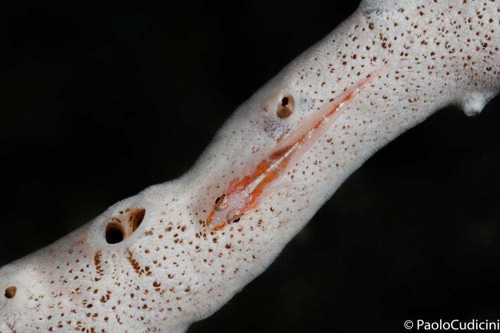 Pleurosicya micheli.     Michel's ghost goby.