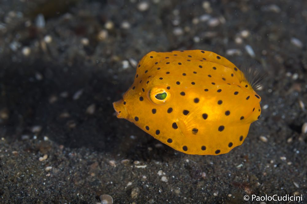 Ostracion cubicus.    Yellow Boxfish.   Pesce scatola giallo.