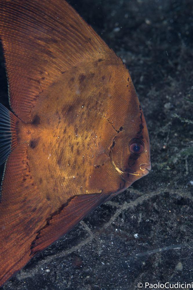Platax orbicularis.      Circular Spadefish.