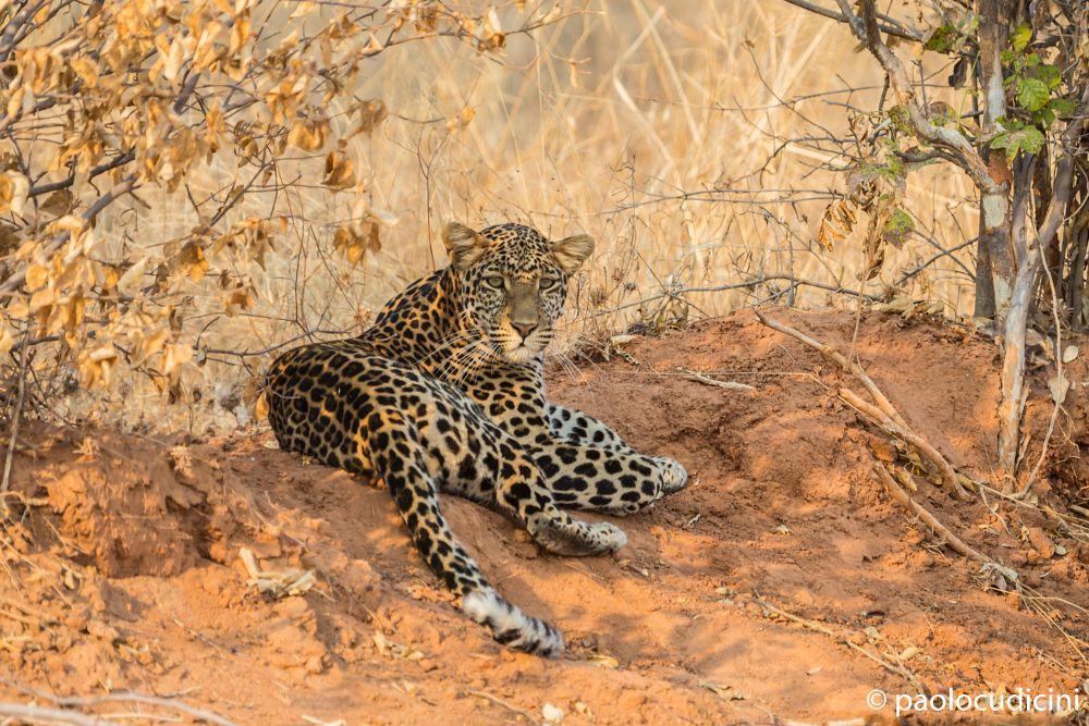 Leopard    Leopardo    Africa