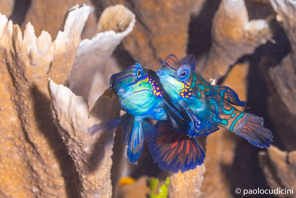 Synchiropus splendidus      Mandarin Fish