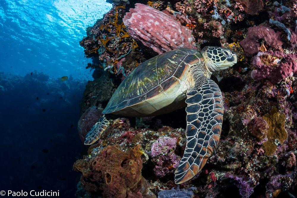 Green Turtle    Bunaken National Park